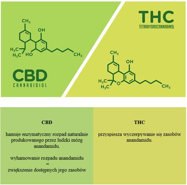 cbd-a-thc-w-układzie-endokannabinoidowym-1