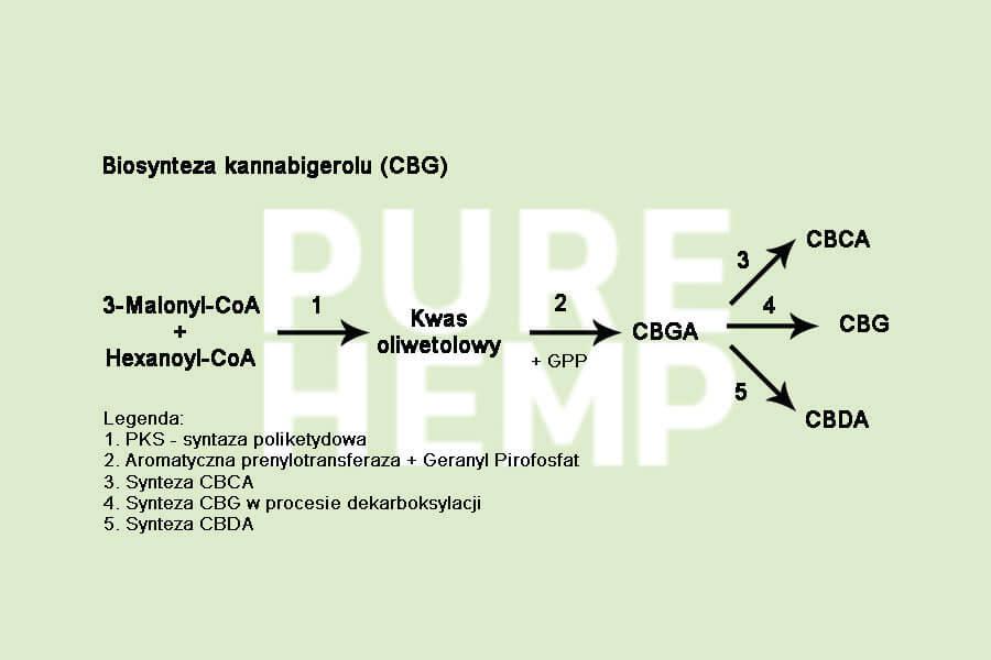 biosyteza kannabigerolu cbg